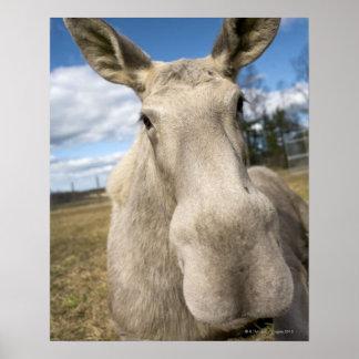 Moose on a field, Sweden. Poster