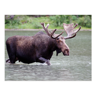 Moose on a Mission Postcard