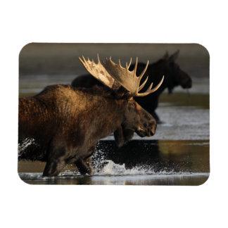 moose splashing in the water rectangular photo magnet
