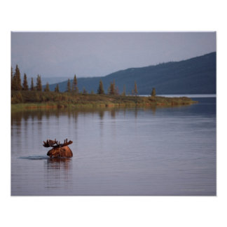 Moose Swimming in Lake Poster