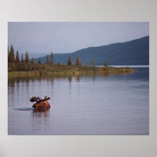 Moose Swimming in Lake Posters