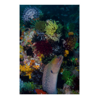 Moray Eel and Coral Poster