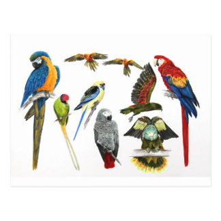 more and more Parrots for all your gifts Postcard