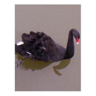 More Black Swan Postcard
