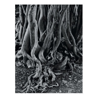 Moreton bay fig tree roots postcard