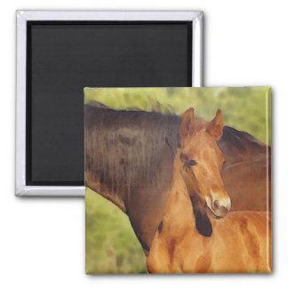 Morgan foal magnet
