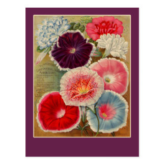 Morning Glories Seed Packet Art Cards Postcards