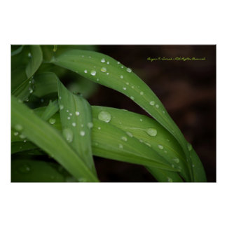 Morning Rain on Perfect Blades of Grass Photograph Poster