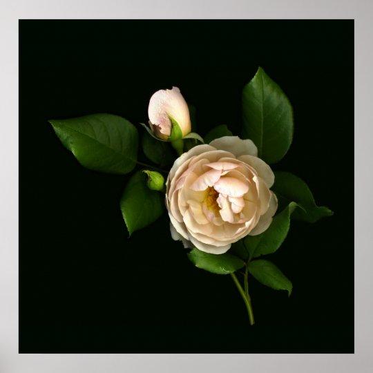 Morning-Rose-Buds Poster