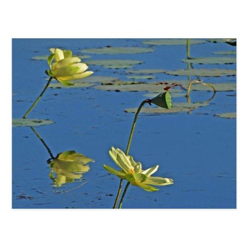 Morning Yellow Lotus Pond Postcard
