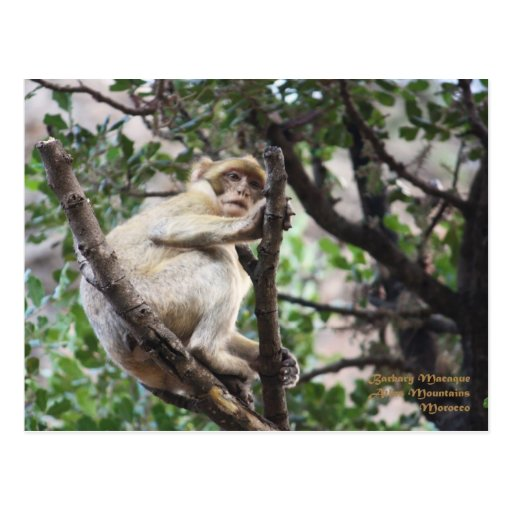 Morocco-Barbary Macaque Post Cards