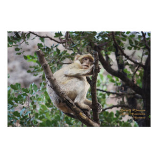 Morocco-Barbary Macaque Poster