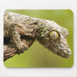 Mossy leaf-tailed gecko on a piece of bark mouse mat