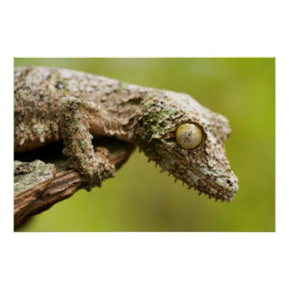 Mossy leaf-tailed gecko on a piece of bark poster