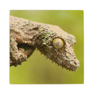 Mossy leaf-tailed gecko on a piece of bark wood coaster