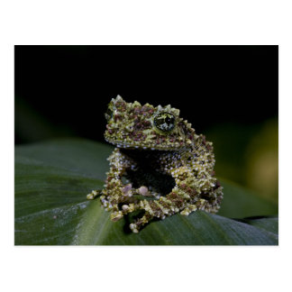 Mossy Treefrog Theloderma corticale Native 2 Post Card