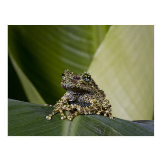 Mossy Treefrog, Theloderma corticale, Native Postcard