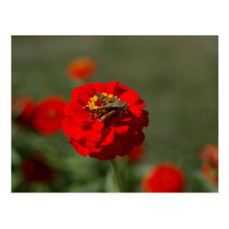 Moth and Red Zinnia postcard