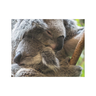 Mother and baby joey koalas asleep cuddling canvas print