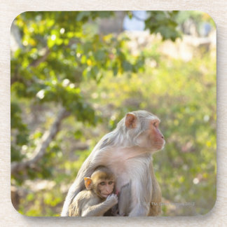 Mother and baby Rhesus Macaque monkeys on wall Drink Coaster