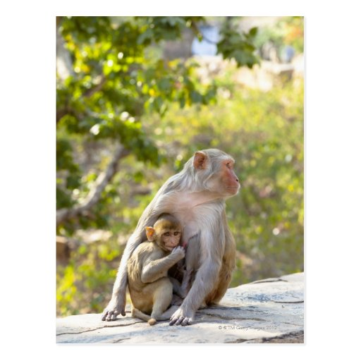 Mother and baby Rhesus Macaque monkeys on wall Post Card
