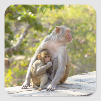 Mother and baby Rhesus Macaque monkeys on wall Square Sticker
