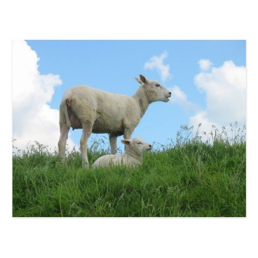 Mother and Baby Sheep Spring PostCard