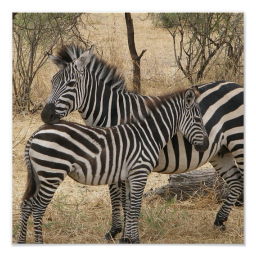 Mother and Baby Zebra  Poster