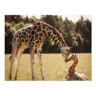 Mother & Baby Giraffe Postcard