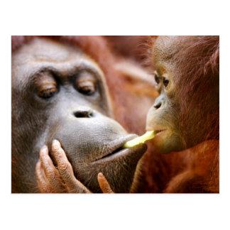 Mother & Baby Orangutan Postcard