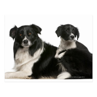 Mother border collie and puppy postcard