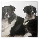 Mother border collie and puppy tile