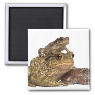 mother Common toad and her babies - bufo bufo Square Magnet