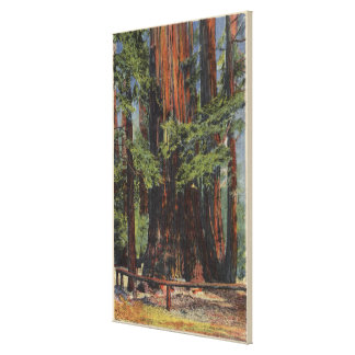"""Mother"" & ""Daughter"" at Big Trees Park Canvas Print"