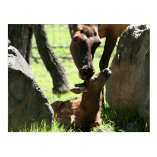 Mother elk kisses baby postcard