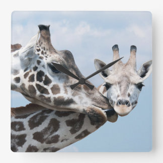 Mother giraffe kisses her calf square wall clock
