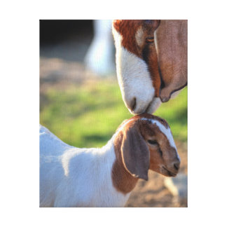 Mother goat kissing her baby on head. canvas print