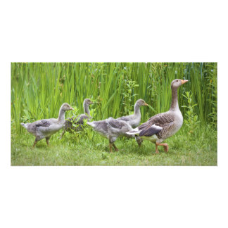 Mother goose leading goslings in the wild card