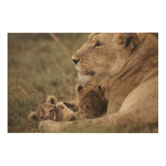 Mother Lion sitting with cubs Wood Print