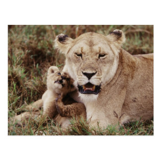 Mother lion sitting with her cub postcard