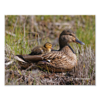 Mother Mallard with Baby Duckling on Her Back Art Photo
