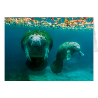Mother manatee with her calf in Crystal River Card