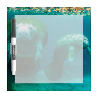 Mother manatee with her calf in Crystal River Dry Erase Board