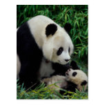 Mother panda and baby in the bamboo bush, Wolong Post Cards