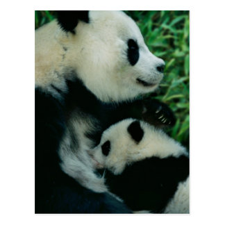 Mother panda nursing cub, Wolong, Sichuan, China Postcard