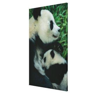 Mother panda nursing cub, Wolong, Sichuan, China Stretched Canvas Print