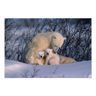 Mother Polar Bear Sitting with Twins, Poster