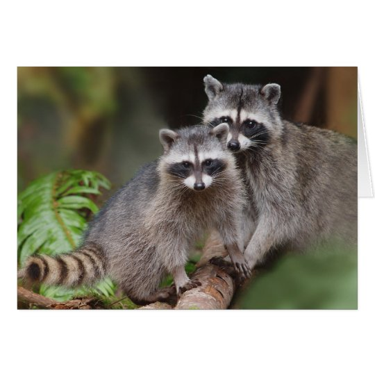 Mother Racoon with Youngster (Procyon lotor ) Card