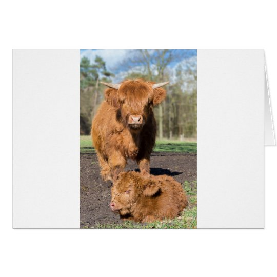 Mother scottish highlander cow near newborn calf card