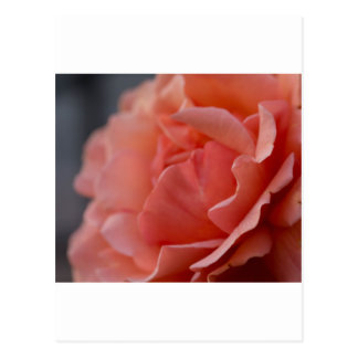 Mother's Day Rose Postcard